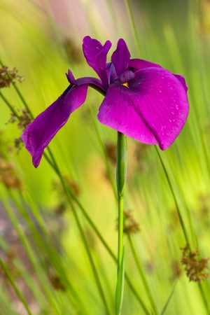 Beautiful sword-like japanese iris  photo