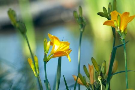 Yellow lilies near gardens pond Stock Photo