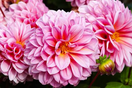Dahlias bush in garden