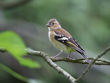 chaffinch: Chaffinch female in forest Stock Photo