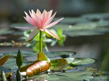 Pale pink beautiful water lily in pond