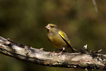 greenfinch: Greenfinch male portrait