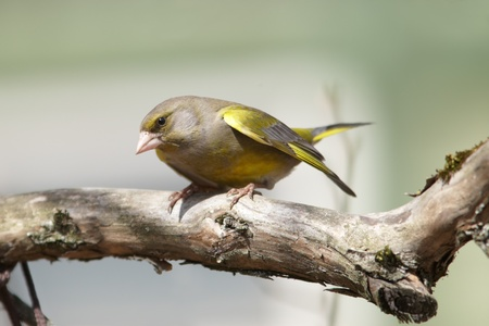 greenfinch: Greenfinch male sitting on old branch Stock Photo