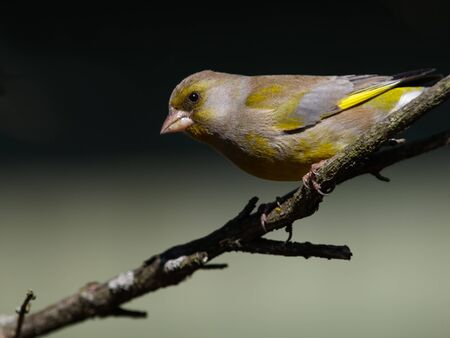 greenfinch: Greenfinch portrait in profile  close up