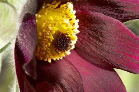 Pasque-flower bud close up Stock Photo - 13598762