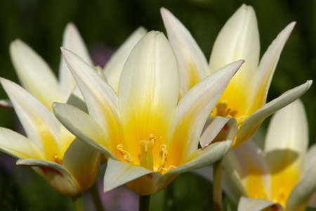 Wild spring tulips flower buds Stock Photo - 13598744
