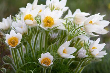 Pasque-flower bush in spring garden Stock Photo - 13598750