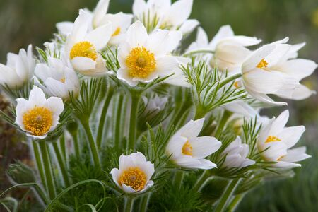 pasqueflower: Pasque-flower bush in spring garden