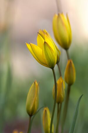 Spring yellow wild tulips family photo