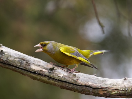 greenfinch: Greenfinch male in aggressive pose  Stock Photo