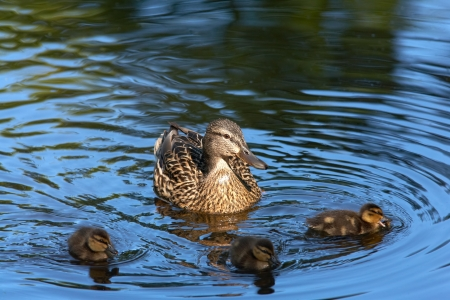 Duck with dacklings in pond photo