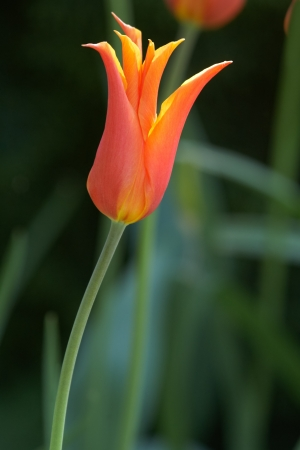 carroty: Beautiful variety orange tulip swimming in sunlight Stock Photo