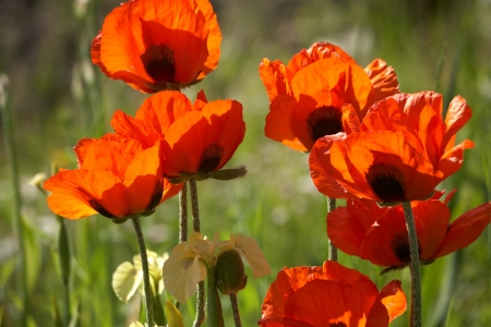 Red poppies on sunshine meadow Stock Photo