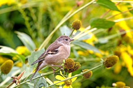 chaffinch: Chaffinch female in garden