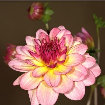 Variety multicolor dahlia bud close up