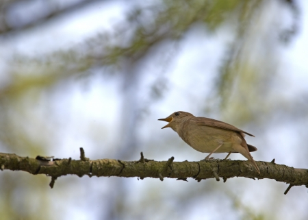 Nightingale singing on branch
