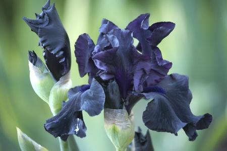 bearded: Dark blue bearded iris flower Stock Photo