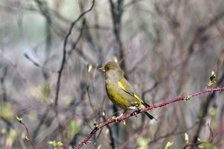 greenfinch: Greenfinch sitting on spring branch