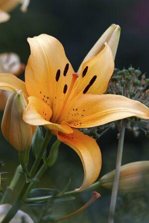 oranje lelie: Oranje lelieknop Stockfoto