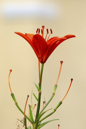 carroty: Carroty tiger lily flower bud