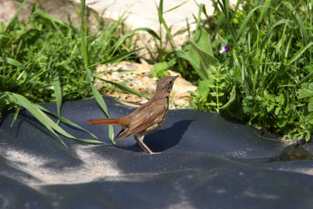 ruberoid: Nightingale looking at little flower in grass
