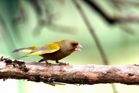 greenfinch: Greenfinch in attack