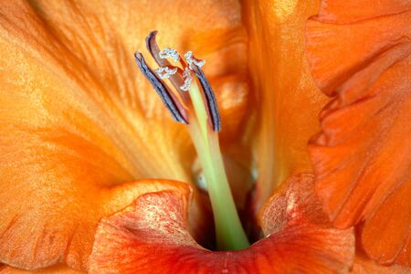 carroty: Gladiolus carroty color flower bud Stock Photo
