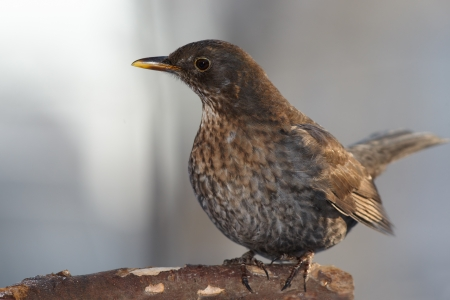 Curious thrush on branch photo