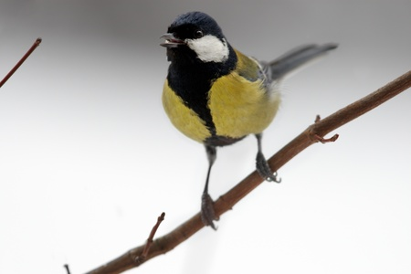 expects: Sociable great tit on branch Stock Photo