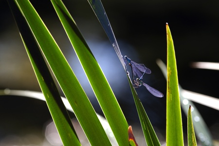 Blue dragonflyes make love on sedge leaf photo