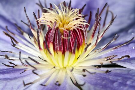 clematis flower: Clematis flower bud close up Stock Photo