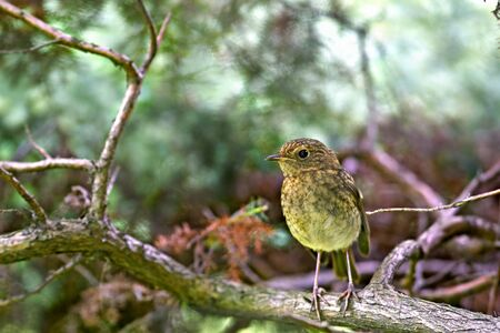 Robin nestling standing on branch in forest photo