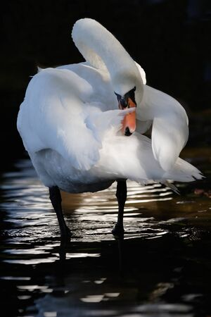 White swan  with reflected on lake water photo