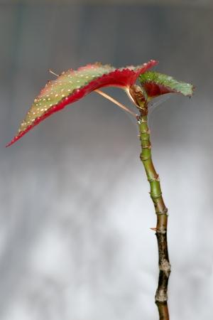 begonia: Begonia flowering