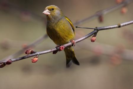 greenfinch: Greenfinch sitting on spring branch