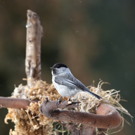 Willow tit sitting near nest photo