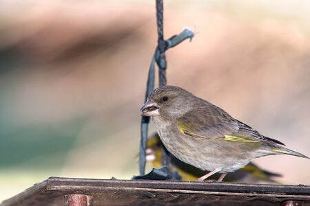 greenfinch: Greenfinch with seed on feeder