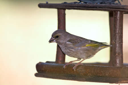 greenfinch: Greenfinch on feeder