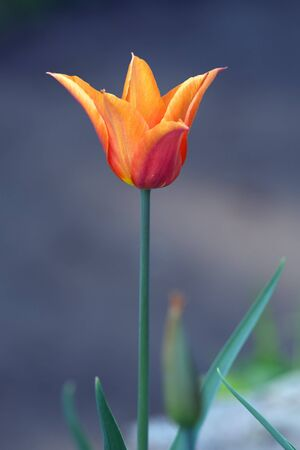 carroty: Carroty color tulip flower