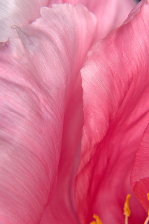 Tree peony petals close up