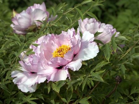 peony tree: Pallido fiore rosa peonia albero Archivio Fotografico