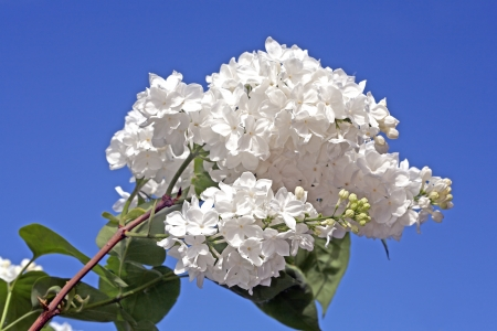 White lilac branch on blue sky background