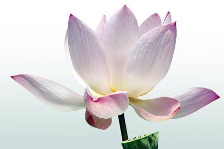 whitw: Lotus flower bud blossom on white