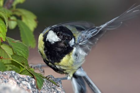 flapping: Great tit on rock flapping wing Stock Photo