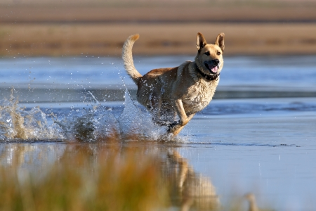 Dog running across the shallow water photo