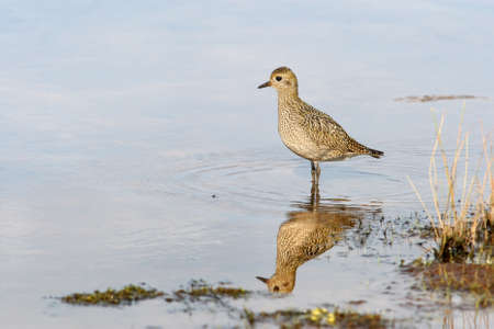 plover: Plover standing on shallow  Stock Photo