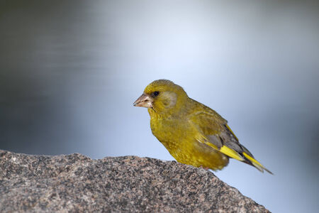 greenfinch: Greenfinch resting on rock  Stock Photo