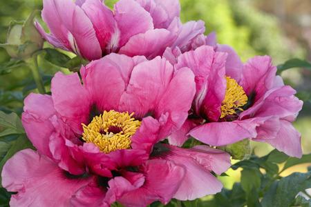 peony tree: Rosa peonia albero cespuglio fiore