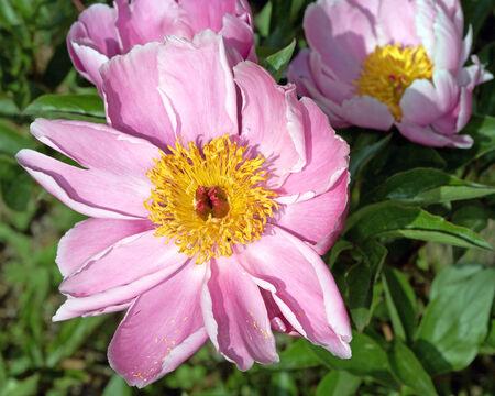peony tree: Pallido rosa fiori di peonia fiore