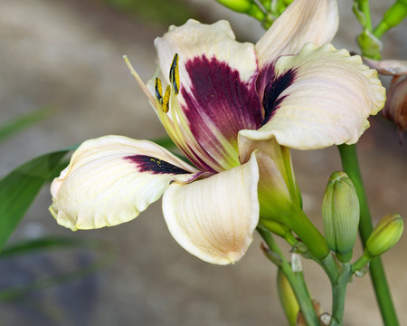 Pale cream day lily bush blossom